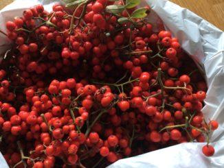 Nu är det dags att plocka rönnbären till julsnapsen